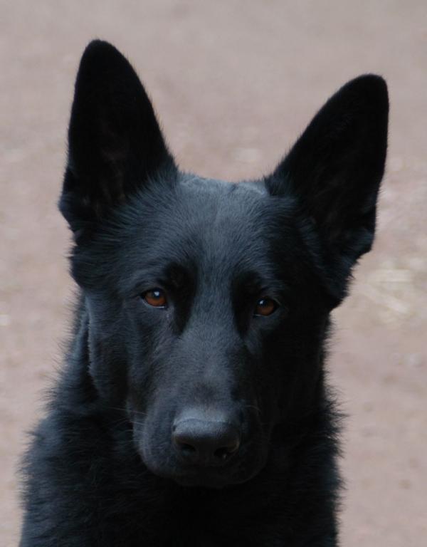 Duitse Herder puppy's door Kennel v.h.Volgerland - Verkoop ...: https://www.dienst.nl/dieren/verkoop/10532/duitse-herder-puppy-s.htm